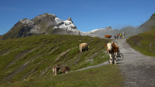 Hiker and cows at First, Bernese Oberland, Canton of Bern, Switzerland