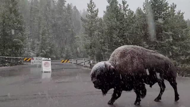 hiker captured a video of a bison casually strolling down a road in yellowstone national park in wyoming, amid an... - wyoming stock videos & royalty-free footage