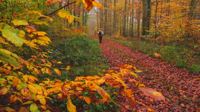 vídeos de stock e filmes b-roll de hiker in autumnal beech forest - full length