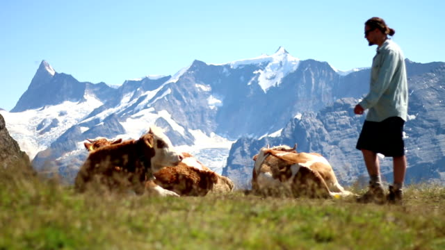 hiker pets alpine cow - one man only stock videos & royalty-free footage