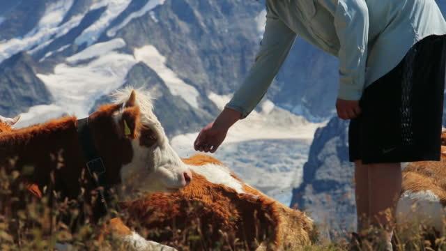 Hiker pets alpine cow