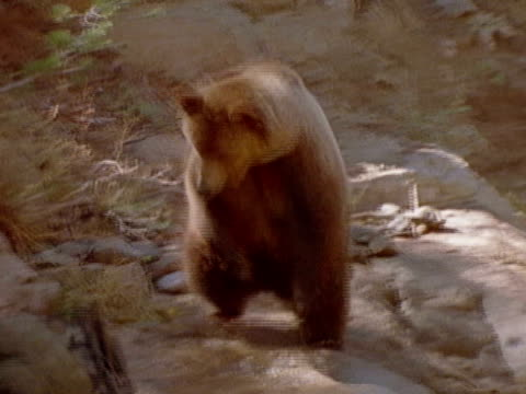 A hiker throws his backpack at a grizzly bear and runs away