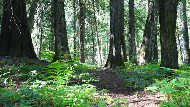 hiker walking through forest with small dog - havanese stock videos & royalty-free footage