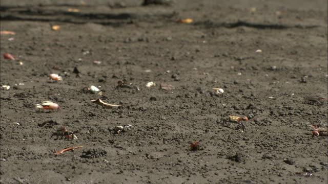 a hiker walks on a sandy beach covered with fiddler crabs. - zuschnappen stock-videos und b-roll-filmmaterial