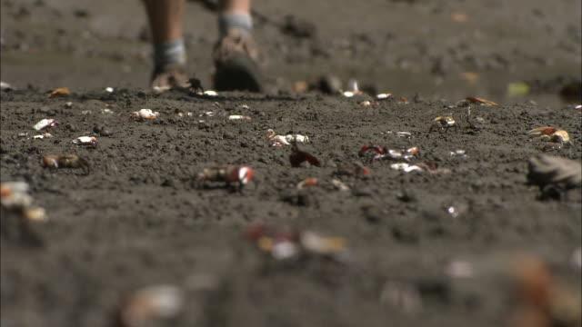 a hiker walks on a sandy beach with crabs. - zuschnappen stock-videos und b-roll-filmmaterial