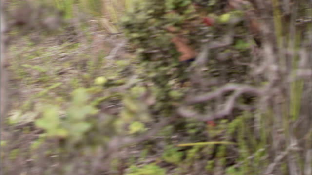stockvideo's en b-roll-footage met a hiker wears shorts and boots on a wilderness trail walk. - gymbroek