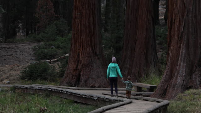 vidéos et rushes de hiking among the largest and oldest trees in the world - activité de loisirs