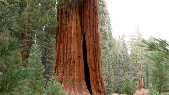 vídeos de stock e filmes b-roll de hiking among the largest and oldest trees in the world - evergreen