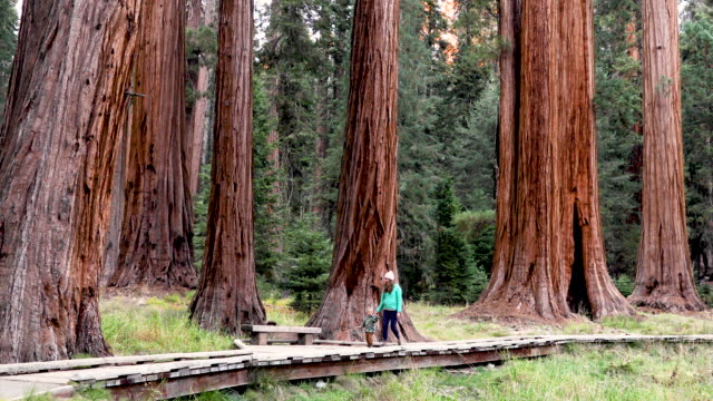hiking among the largest and oldest trees in the world - national park stock videos & royalty-free footage