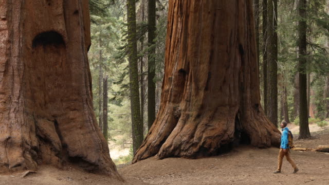 hiking among the largest and oldest trees in the world - sequoia national park stock videos & royalty-free footage