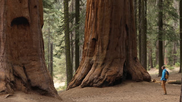 hiking among the largest and oldest trees in the world - viewpoint stock videos & royalty-free footage