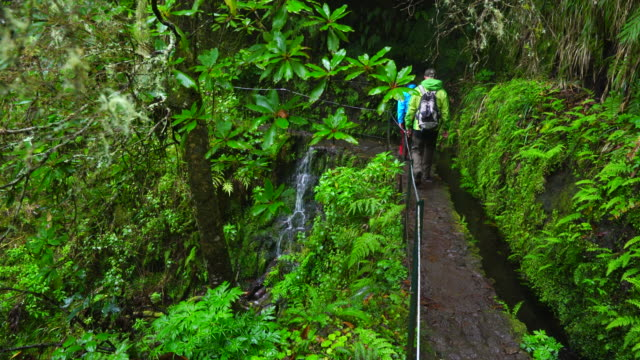 hiking in a laurel forest in madeira island - alloro video stock e b–roll