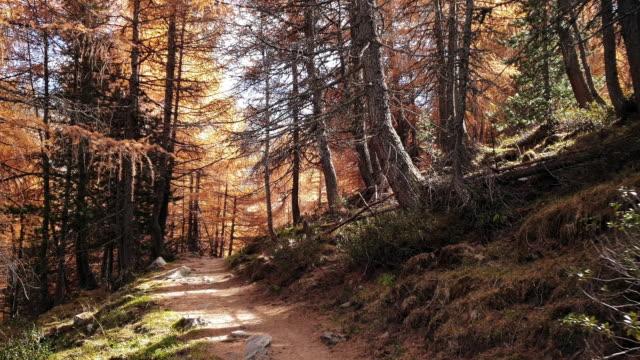 vídeos y material grabado en eventos de stock de trekking en cordillera alpina en otoño - pinaceae