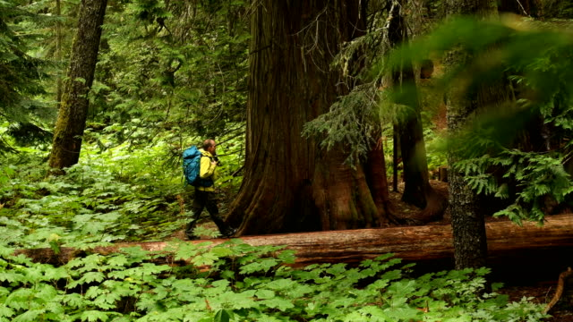hiking in an ancient cedar forest - evergreen stock videos & royalty-free footage