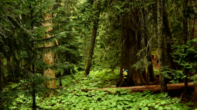 Hiking in an ancient cedar forest
