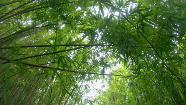 hiking in bamboo forest off road to hana, maui, hawaii. - maui stock videos & royalty-free footage