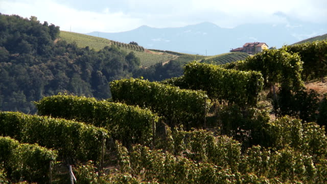 hill covered by green vineyards rows in summer on a sunny day day - piemonte video stock e b–roll
