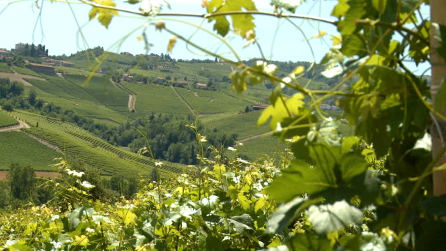 hills covered by green vineyards in summer in the langhe rack focus - piemonte video stock e b–roll