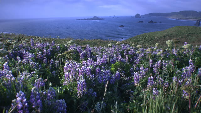 Hills with flowers overlooking Pacific Ocean, Cape Blanco State Park, Oregon