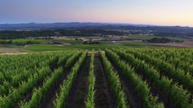 Hillside Covered in Grapevines in Sonoma County at Sunset - Drone Shot
