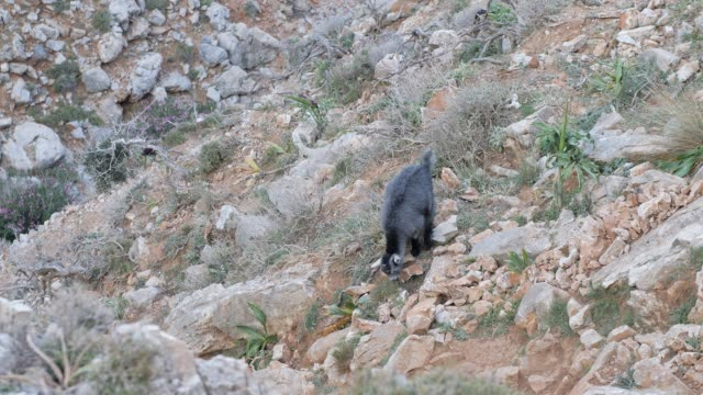 Hillside goat rock climbing at Seitan Limania Beach, Akrotiri, Crete, Greek Islands, Greece, Europe