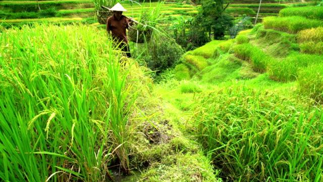 vidéos et rushes de hillside rice farm with asian male worker bali - bamboo plant
