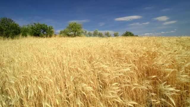 hilly tuscan countryside with wheat fields in summer, pienza, val d'orcia, siena province, tuscany, italy - 小麦点の映像素材/bロール