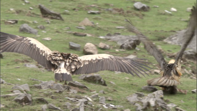 Himalayan griffon vulture steals goat leg from Lammergeier, Chopta, India Available in HD.