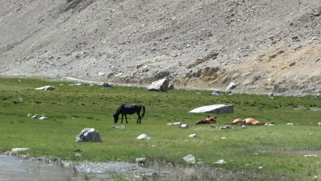 Himalayan marmots and a black horse in green field in the Himalayas, Ladakh, India
