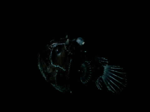 himantolophus angler waves lure in black water - undersea stock-videos und b-roll-filmmaterial