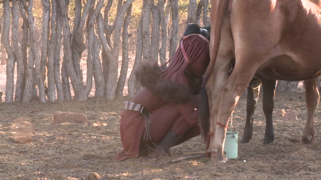 stockvideo's en b-roll-footage met himba tribe woman milking cattle: traditional female role, namibia - namibië