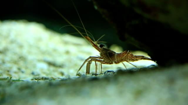 hingebeak shrimp - prawn animal stock videos and b-roll footage
