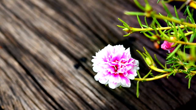 Hippeastrum cybister hybrid blossom