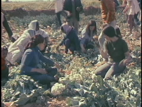 hippies join sikhs in new delhi and help to harvest a crop of cauliflower. - healthcare and medicine or illness or food and drink or fitness or exercise or wellbeing stock videos & royalty-free footage