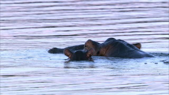 hippo (hippopotamus amphibius) and calf submerge, lake edward, uganda - 浮き上がる点の映像素材/bロール