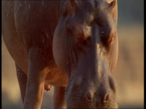 a hippo enters the luangwa river. - tier rücken stock-videos und b-roll-filmmaterial