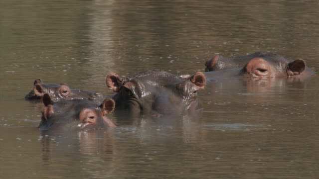 Hippo Family In Water 1