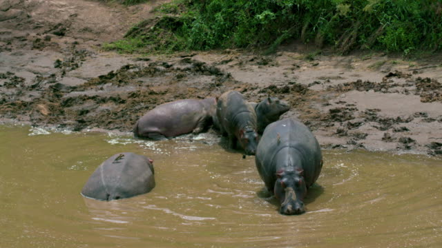 hippo family leave river bank maasai mara, kenya, africa - animals in the wild stock videos & royalty-free footage