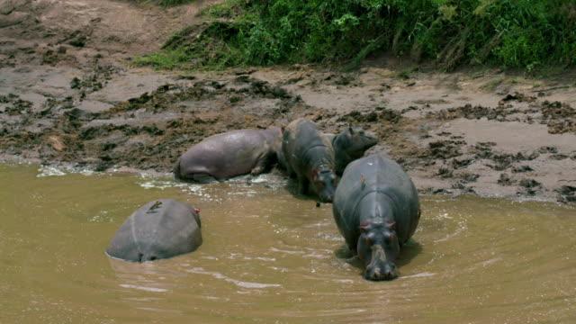 Hippo Family Leave River Bank Maasai Mara, Kenya, Africa