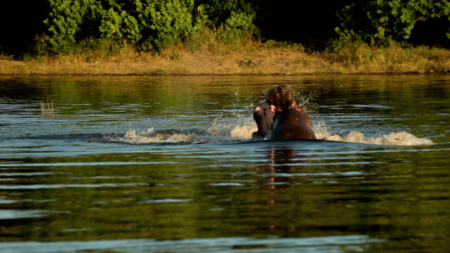 hippo fight in river. - hippopotamus stock videos & royalty-free footage