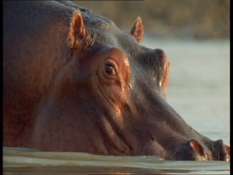 A hippo fights with another hippo in a river.