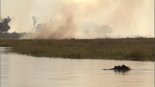 A hippo floats through water near a wildfire. Available in HD