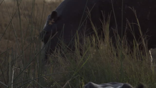 A hippo forages on grasses on the bank of a watering hole. Available in HD.