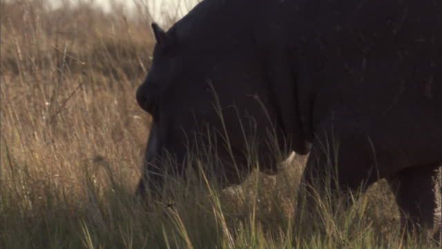 A hippo grazes in long grass. Available in HD.