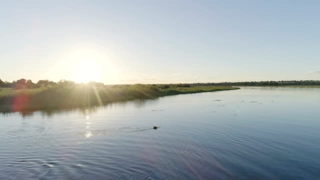 Hippo in Okavango river. Drone point of view.