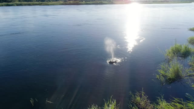Hippo in Okavango river. Drone point of view.
