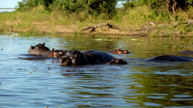 hippo in river. - hippopotamus stock videos & royalty-free footage