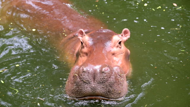 Hippo in the lake , Slow motion