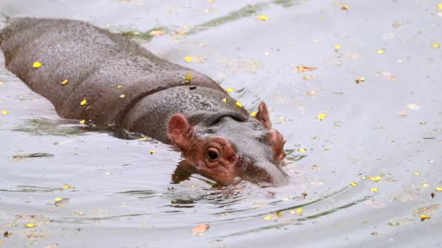 vídeos de stock e filmes b-roll de hippo in the river , slow motion - animal mouth