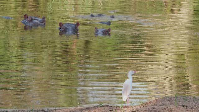 hippo in water egret in foreground - egret stock videos and b-roll footage